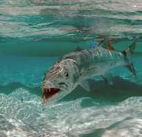 Морская щука фото