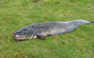 Сом рыба видео