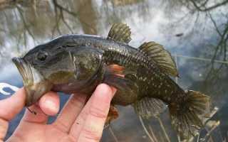 Ратан фото рыба