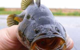 Рыба ротанг