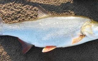 Рыба жерех википедия