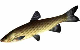 Рыба амур фото