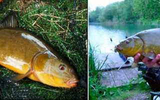 На что клюет рыба линь