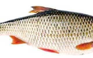 Сорожка рыба википедия