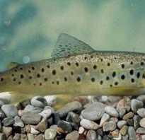 Рыба ишхан фото