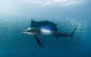 Рыба парусник скорость
