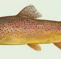 Рыба кумжа википедия