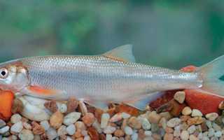 Рыба шамайка википедия