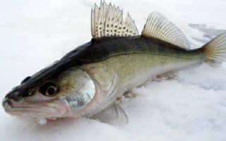Речная рыба судак