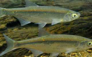 Рыба уклейка википедия
