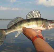 Рыба берш отличие от судака