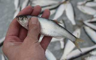 Уклейка реальная рыбалка