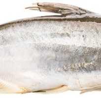 Пангасиус рыба википедия