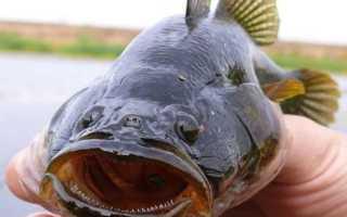 Рыба ратан