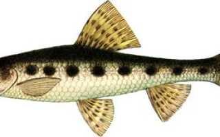 Пескарь рыба википедия