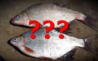 Рыба похожая на подлещика