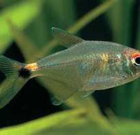 Рыба фонарик