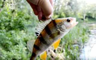Рыбалка на окуня летом