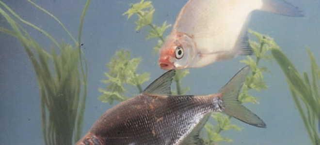 Рыба похожая на леща