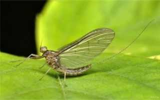 Поденка насекомое фото