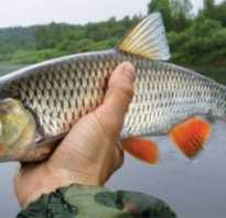 Рыба головань фото