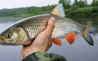 Рыба голавль фото