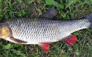 Рыба головень